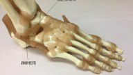 1 anatomy